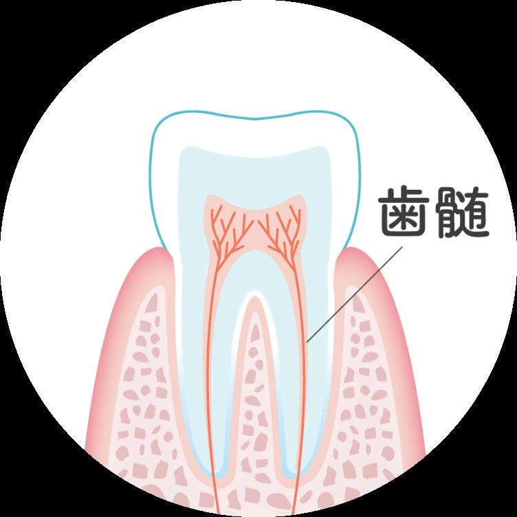 歯髄のイメージイラスト